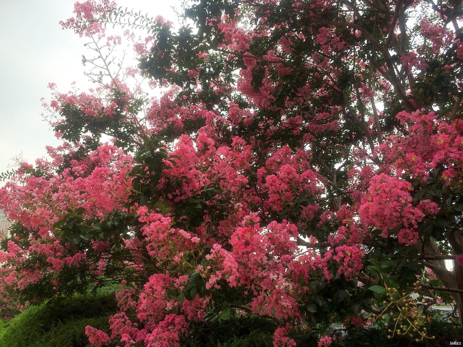 Seoul, Korea - Summer Study Abroad 2014 - Deoksugung 덕수궁 blooming trees