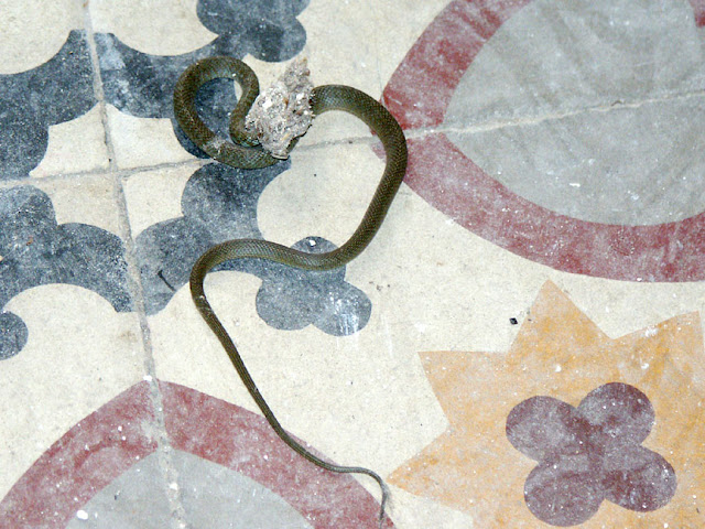 Young Western Whip Snake that has trapped itself in some fluff inside a house being renovated.  Indre et Loire, France. Photographed by Susan Walter. Tour the Loire Valley with a classic car and a private guide.