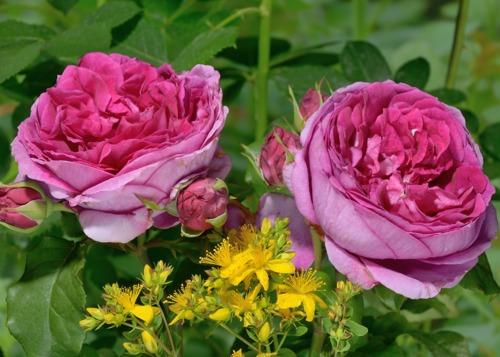 Young Lycidas сорт розы