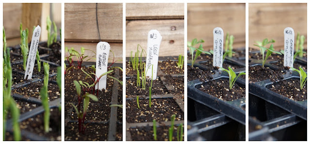 seedlings in lean to greenhouse- a stubborn optimist blog - C Gault 2020