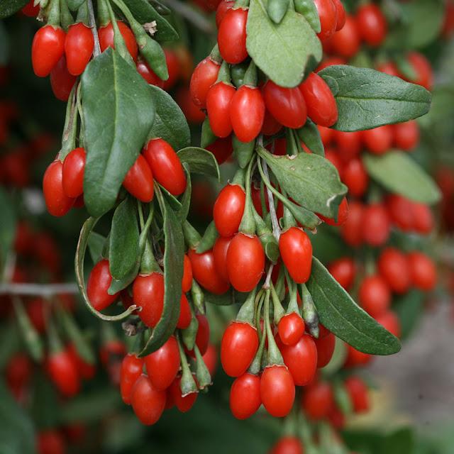 Conheça incríveis benefícios da Goji berry para saúde