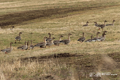 ヒシクイ≪Bean Goose≫マガン≪Greater White-fronted Goose≫