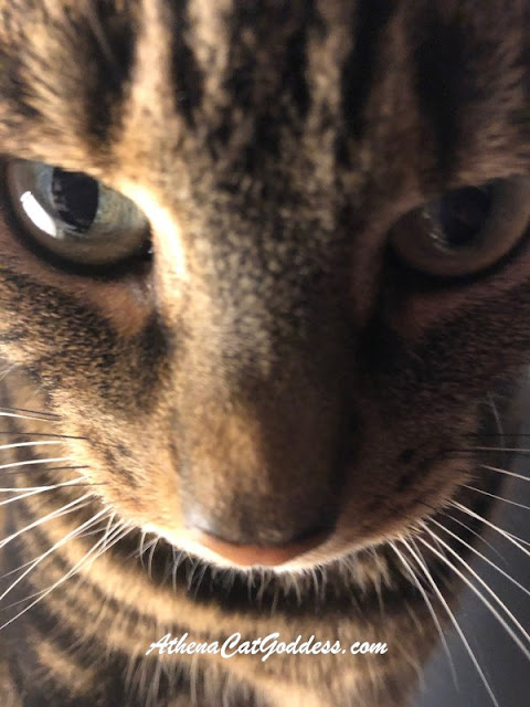tabby cat close up selfie