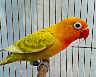burung lovebird blorok, lovebird blorok