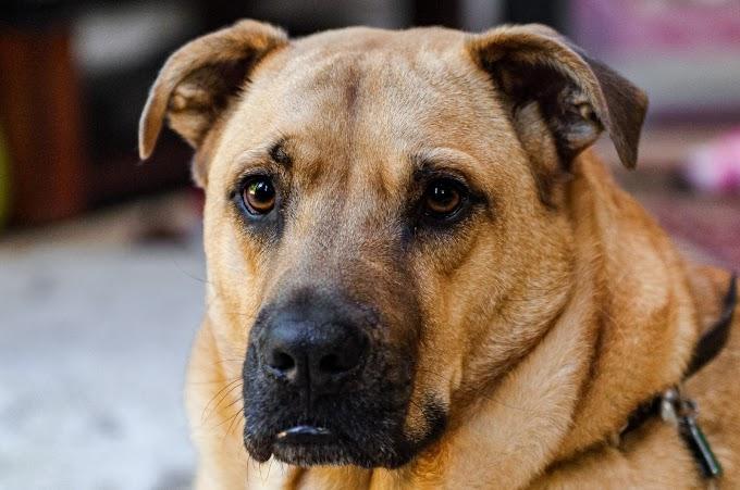 Sarabi Mastiff Dog Breed | Sarabi Mastiff Puppies For Sale