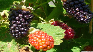 marionberry fruit images wallpaper