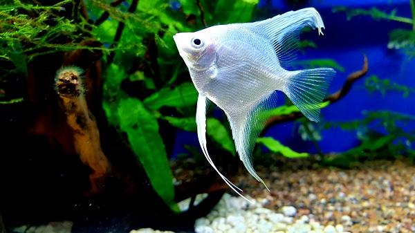 Top Large Freshwater Community Fish - Angelfish