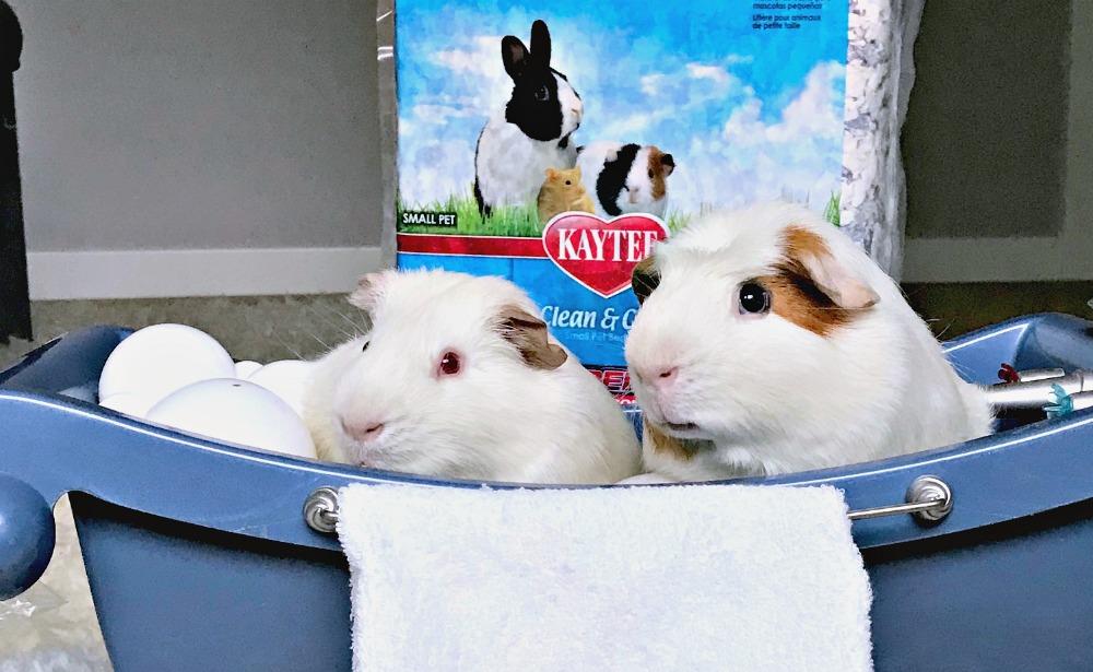 smelly guinea pigs