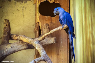 arara-azul-grande, arara-azul, arara, Andorhynchus hyacinthinus, birdwatching, aves do Brasil, birds, birwatching, natureza, pássaros, aves