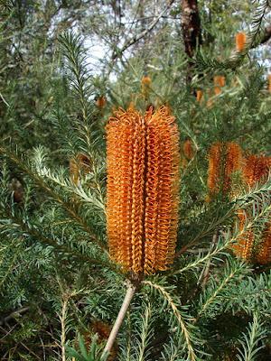 Banksia%2Bericifolia.jpg