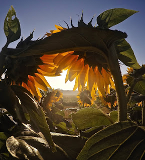 Looking into the sun through bent-over sunflower stalks.Photo by Josh Rangel on Unsplash