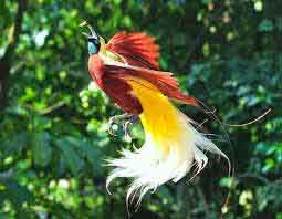 Long Tailed Bird of Paradise