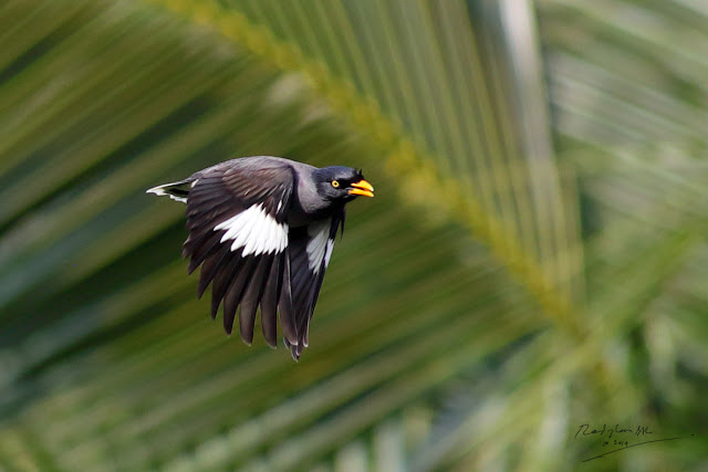 Common Myna flying - Tiung Terbang
