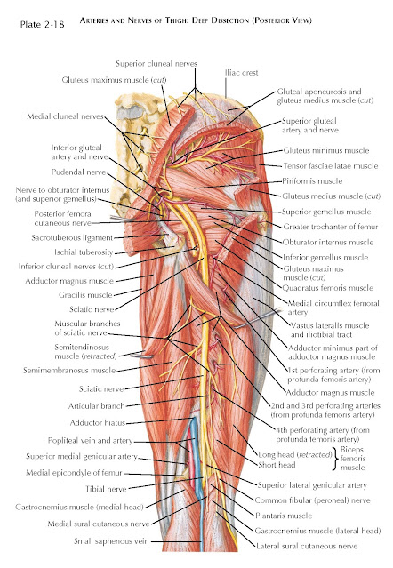 ARTERIES AND NERVES OF THIGH: DEEP DISSECTION (POSTERIOR VIEW)