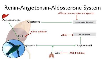 kan basıncında rol alan renin ve anjiyotensin enzimi