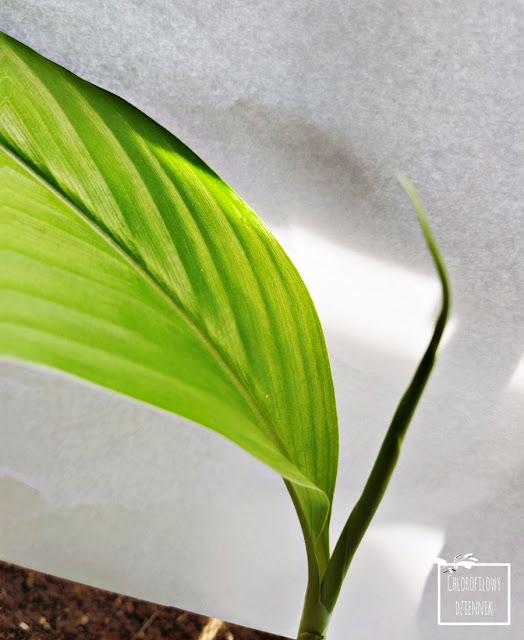 Ostryż długi (Curcuma longa) kurkuma uprawa pielegnacja hodowla z kłączy kłącza w domu w polsce jak uprawiać kurkumę w doniczce egoztyczne rosliny