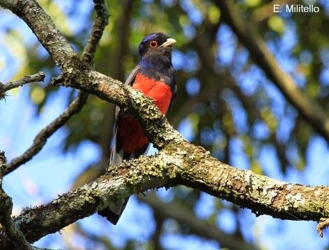 argentinian birds Trogon