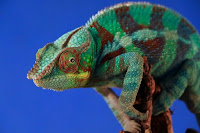 Chameleon - Photo by Pierre Bamin on Unsplash