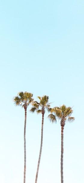 Tall palms wallpaper