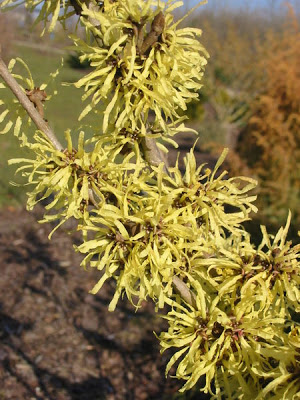First flowering shrubs of Spring Witch Hazel