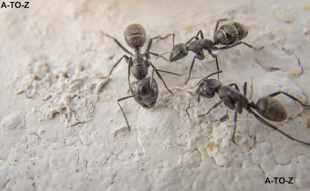 النمل المنزلي