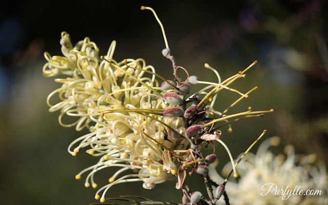 Grevillia flower and seed pods