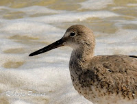 Willet – St. George Island, FL – Apr. 1, 2018 – Roberta Palmer