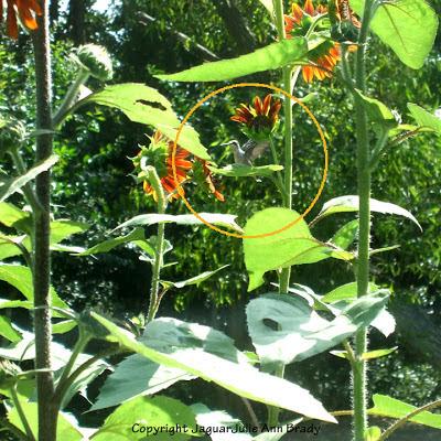 hummingbird in my sunflower garden