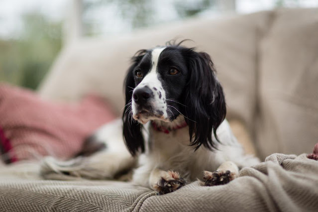 The Writer's Pet: Jessica Redland on her Hedgehog Hollow series and her spaniel, Ella, pictured