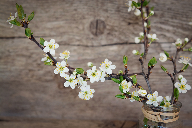 How To Force Flowering Cherry Branches Indoors