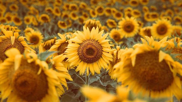 Yellow sunflower iPhone wallpaper and desktop