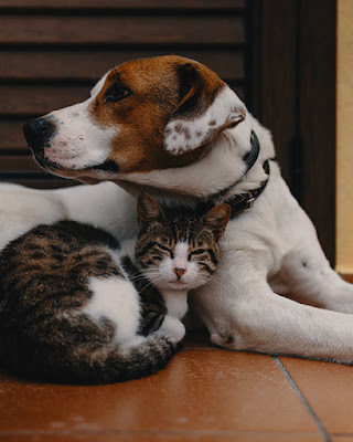 A brown and white dog and a tabby cat are snuggled up next to each other