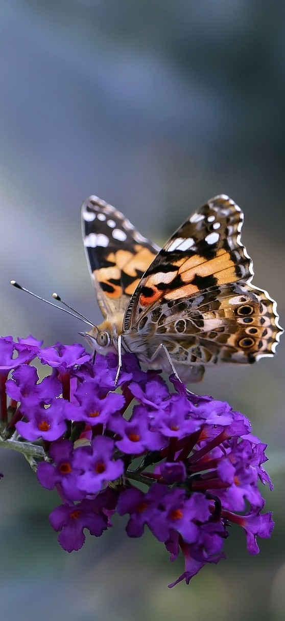 Beautiful painted lady butterfly.