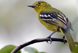 Burung Cipeuw : Tips Perawatan Burung Cipeuw Perawatan Harian Burung Cipeuw