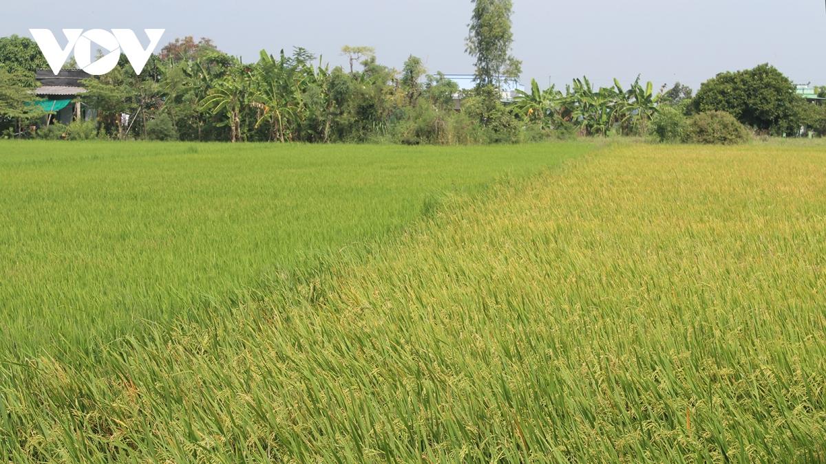 Lúa Hè Thu ở tỉnh Tiền Giang bước vào mùa thu hoạch.