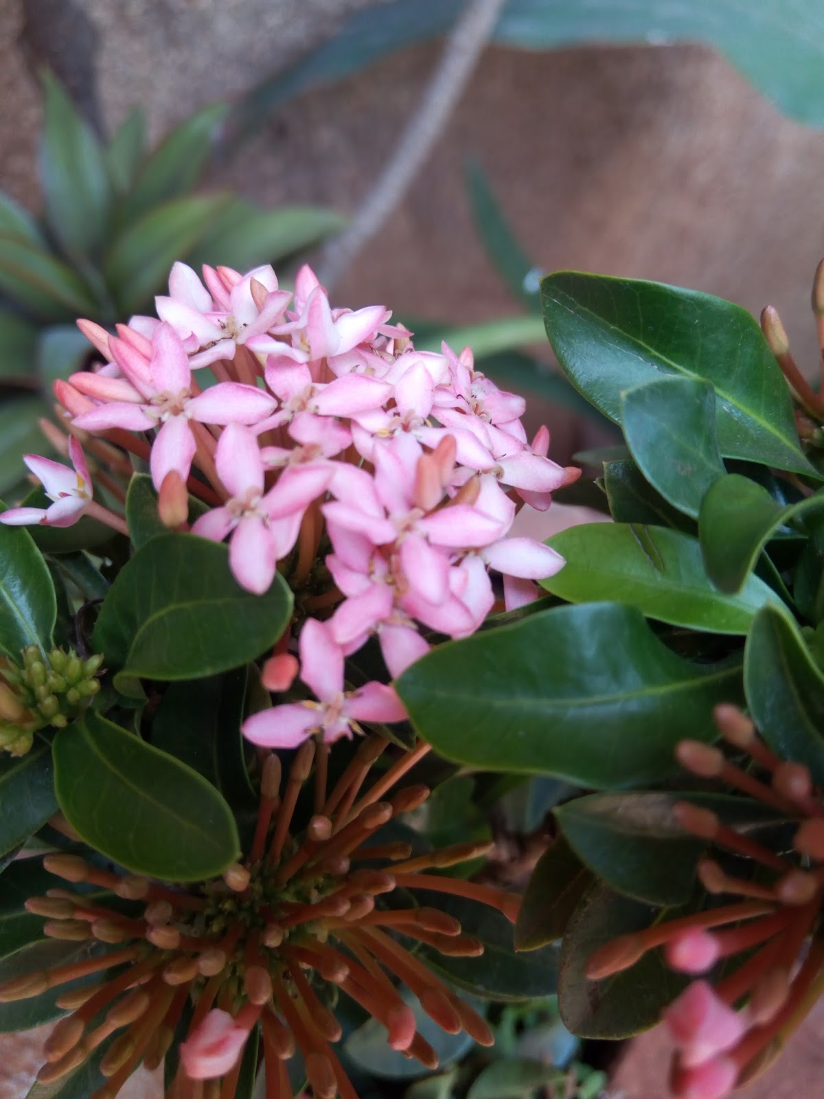 Buy Ixora In Orlando Florida Lake Mary Kissimmee Sanford: Garden Care Simplified: Ixora Flowers In Beautiful Colours