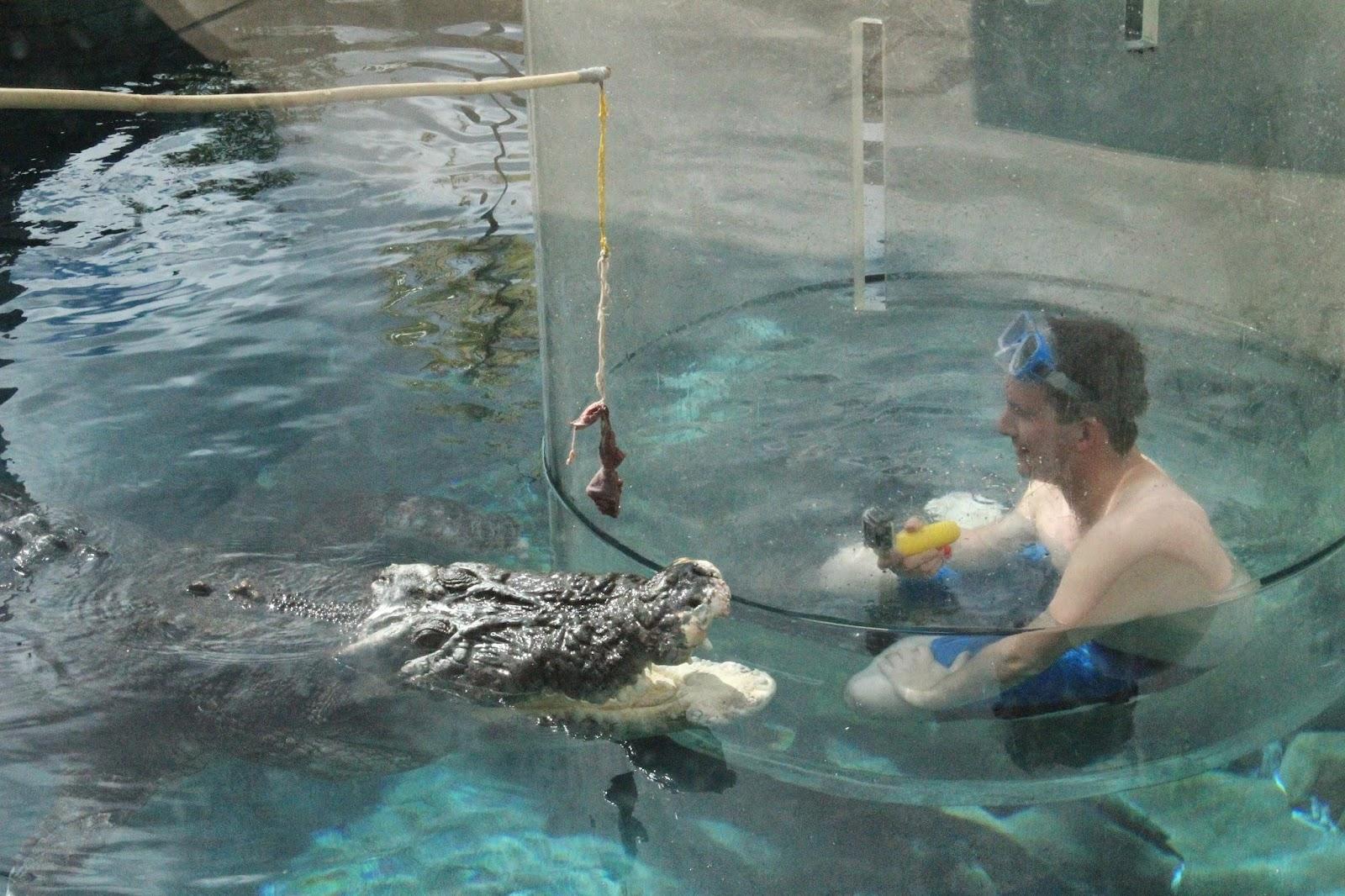 schlange isst krokodil