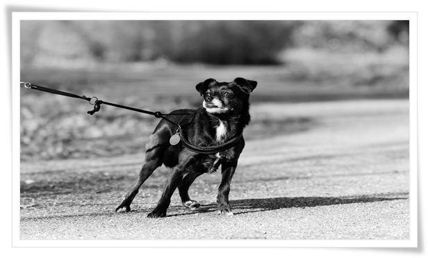 dog pulling on leash training