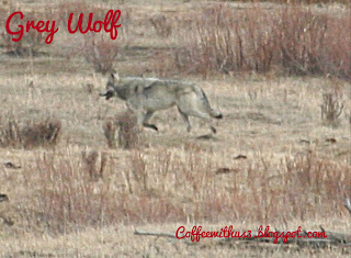 Grey Wolf Yellowstone