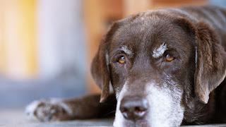 a idade dos cães