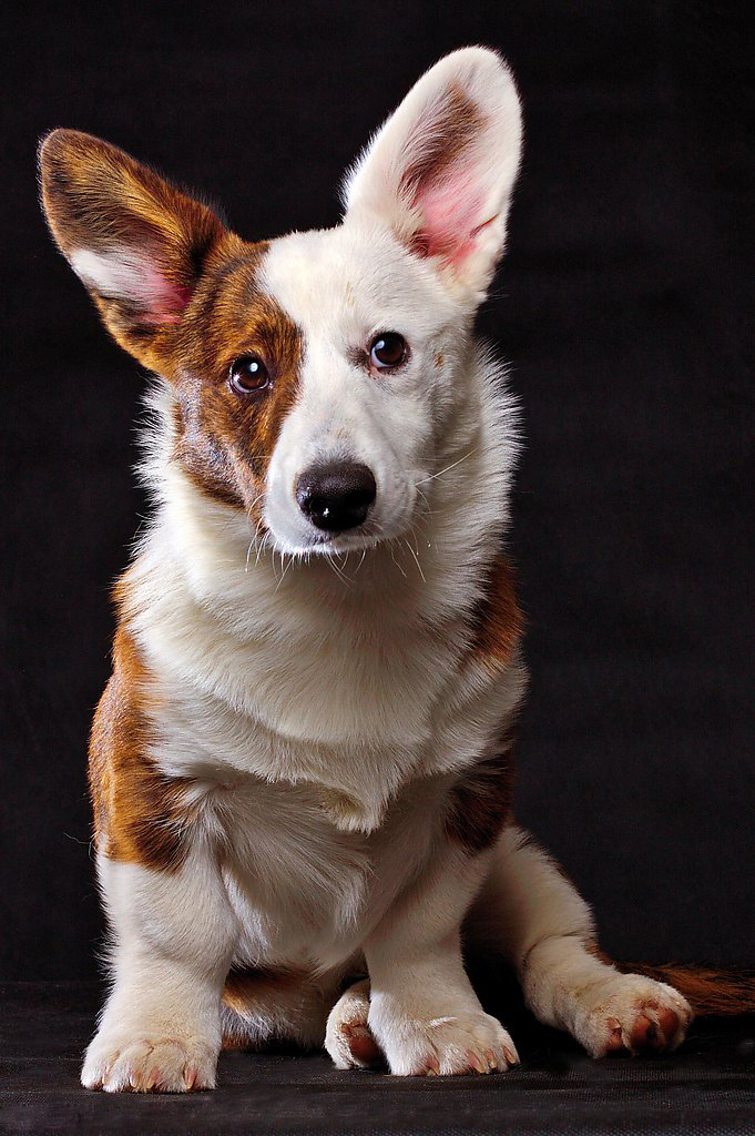Cardigan Welsh Corgi dogs | cute puppy pictures | cute ...