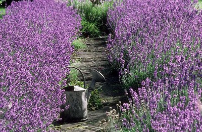 How to propagate lavender from cuttings