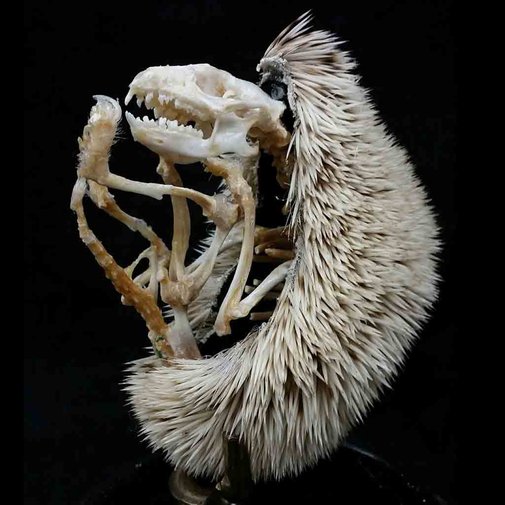 Esqueleto del erizo de tierra visto de perfil
