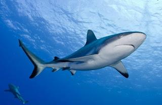 Hasil gambar untuk ikan hiu