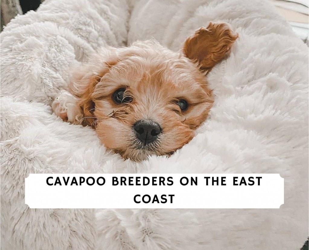 Cavapoo Breeders on the East Coast