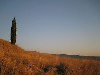 solitary cypress tree in summer in Southern Tuscany