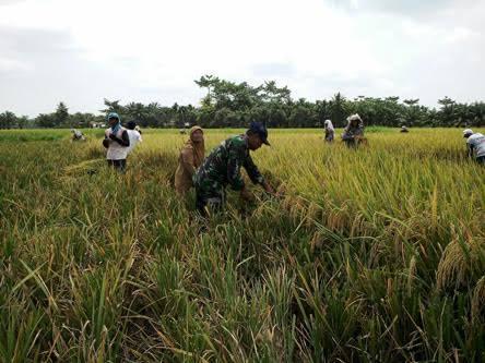 Panen Padi di Desa Tanah Timbul didampingi Babinsa Koramil 05/Tanjung Tiram Serda S. Nainggolan