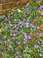 Vinca minor on hillside