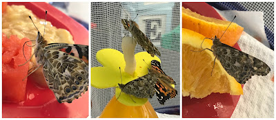 Feeding Painted Lady Butterflies
