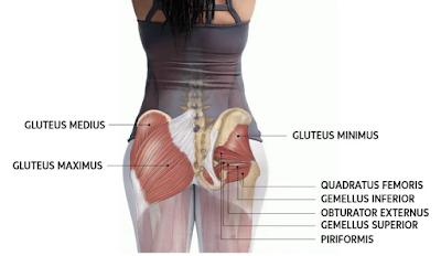 Anatomi otot gluteus maximus merupakan pemetaan dari origo, insersi, aksi atau fungsi, saraf, dan arteri dari otot gluteus pada pinggul manusia. Otot ini memiliki fungsi sebagai media penggerak pada pinggul manusia dan membantu manusia dalam melakukan aktifitas keseharian.   Maka dari itu artikel ini akan membahas mengenai anatomi otot pada pinggul manusia, untuk lebih detail dalam bahasan anatomi ini silahkan simak dengan sebagai berikut